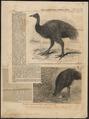 Casuarius bennettii - 1858 - Print - Iconographia Zoologica - Special Collections University of Amsterdam - UBA01 IZ18900073.tif