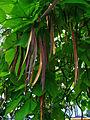 Catalpa bignoioides 004.JPG