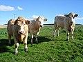 Cattle at Breedless Farm - geograph.org.uk - 1341722.jpg