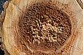 Cavités dans des bûches de peuplier blanc (56).JPG