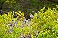Cedar waxwing (41161319830).jpg