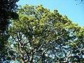 Celtis mildbraedii canopy Pigeon Valley 09 05 2010.JPG
