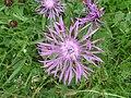 Centaurea nigra 1.JPG