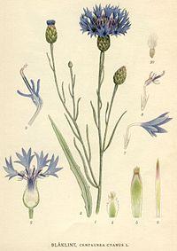 Centaureacyanus