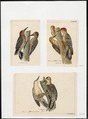 Centurus - 1700-1880 - Print - Iconographia Zoologica - Special Collections University of Amsterdam - UBA01 IZ18700357.tif