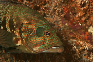 Cephalopholis panamensis - Image: Cephalopholis panamensis