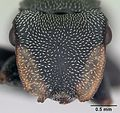 Cephalotes bruchi casent0173666 head 1.jpg