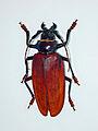 Cerambycidae - Titanus giganteus-001.JPG