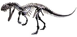 Ceratosaurus mounted white background.jpg