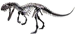 Ceratosauria - Skeletal reconstruction of Ceratosaurus nasicornis