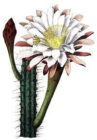 Cereus aethiops BlKakteenT127.jpg