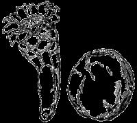 Cereus fricii in Britton & Rose