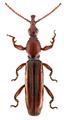 Cerobates (Cerobates) tristriatus.png