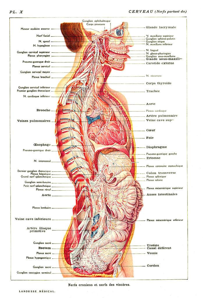 File:Cerveau-Nerfs-Partant-du.jpg - Wikimedia Commons