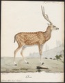 Cervus axis - 1818-1842 - Print - Iconographia Zoologica - Special Collections University of Amsterdam - UBA01 IZ21500330.tif
