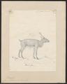 Cervus tarandus - 1818-1842 - Print - Iconographia Zoologica - Special Collections University of Amsterdam - UBA01 IZ21500071.tif
