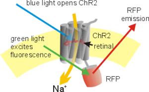 Channelrhodopsin - Scheme of ChR2-RFP fusion construct