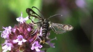 File:Chamaesphecia empiformis.ogv