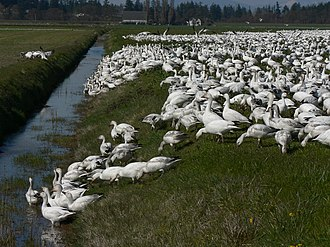 Skagit River - The Skagit River Delta is an important winter habitat for snow geese (pictured) and trumpeter swans