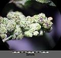 Chenopodium vulvaria sl44.jpg