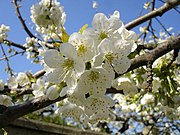 Cherries blooming.jpg