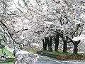 Cherry blossom at ruin Amabiki station 旧雨引き駅 - panoramio.jpg