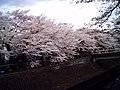 Cherry blossom near Zenpukuji river, Tokyo; July 2006 (07).jpg