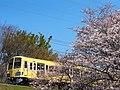 Cherry blossoms with Seibu Tamagawa Line at Nogawa.jpg