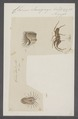 Chersis - Print - Iconographia Zoologica - Special Collections University of Amsterdam - UBAINV0274 068 13 0004.tif
