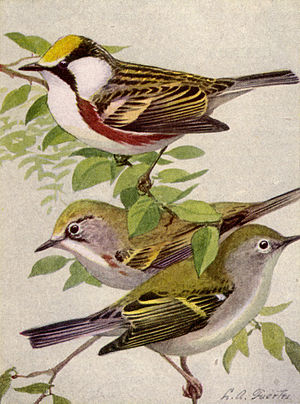 Chestnut-sided warbler - Adult male, summer (top) Young male (center) Adult, winter (below)