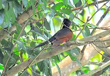 Chestnut-winged Cuckoo.jpg