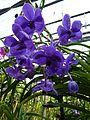Chiang Mai Orchids P1110354.JPG