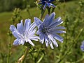 Chicory by Donnington Bridge - geograph.org.uk - 872318.jpg