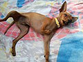 Chihuahua de tres patas.jpg