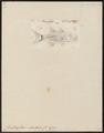 Chilodipterus octovittatus - 1798-1876 - Print - Iconographia Zoologica - Special Collections University of Amsterdam - UBA01 IZ13000060.tif