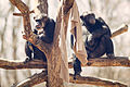 Chimps Relaxing Together (17456371412).jpg
