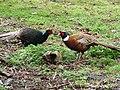 Chinese Ring Necked Pheasant & Melanistic Mutant Ringneck Cross Pheasant (5293723499).jpg