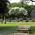 Chionanthus retusus in 228 Memorial Park 20120404.jpg