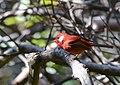 Chipe Rojo, Red Warbler, Ergaticus ruber (15454723504).jpg