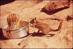 Chipmunks Find Food in Camping Area of Dead Horse Point State Park, 05-1972 (3814150277).jpg