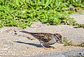 Chipping Sparrow (29263919807).jpg