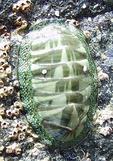 <i>Chiton</i> (genus) Genus of molluscs