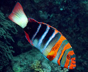 alt=Description de l'image Choerodon fasciatus.jpg.