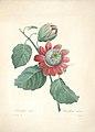 Choix des plus belles fleurs (Plate 40) (7851435286).jpg