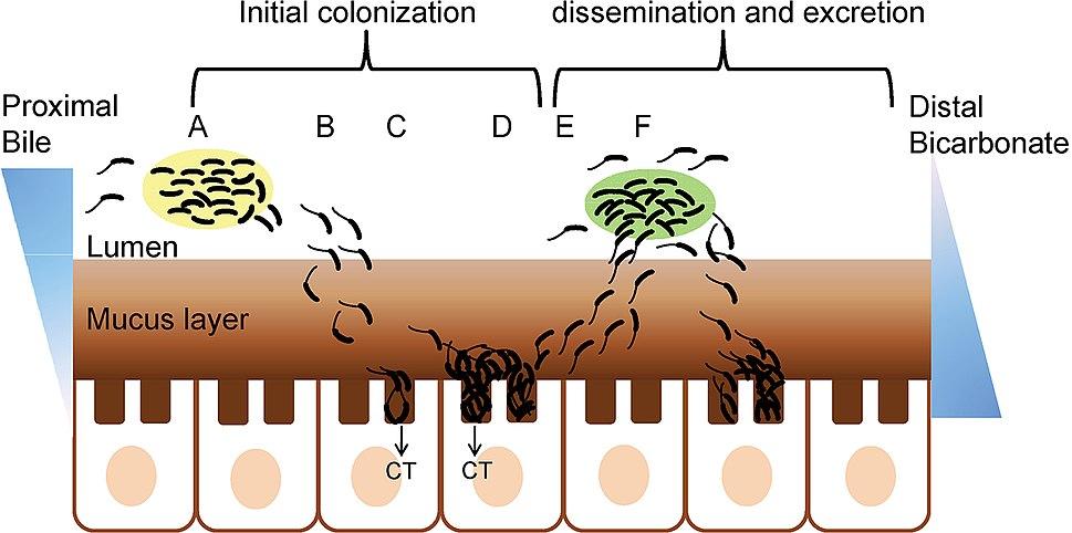 Cholera role of biofilm in intestinal colonization