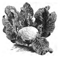 Chou-fleur nain hâtif d'Erfurt Vilmorin-Andrieux 1883.png