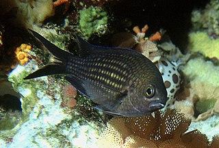 <i>Chromis</i> genus of fishes