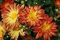 Chrysanthemum x grandiflorum Dazzling Stacy 1zz.jpg
