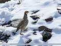 Chukar Partridge (Alectoris chukar) (29980957768).jpg