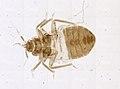 Cimex lectularius (YPM IZ 093670).jpeg